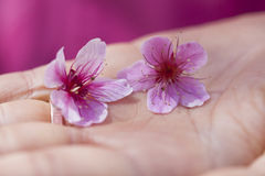 Close-up of Cherry blossom flowers on hand Royalty Free Stock Images