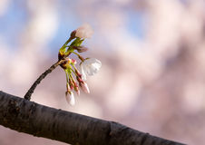 Close up of Cherry Blossom flowers Stock Photography