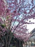 Close-up Cherry Blossom igualmente chamado como Sakura em Japão imagens de stock