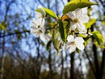 Close up cherry blossom Stock Photos