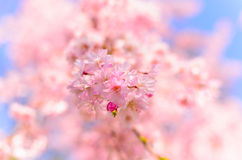 Close up of Cherry Blossom in Osaka Castle Park, J. A close-up shot of cherry blossom (sakura) with a shallow deep of field Royalty Free Stock Image