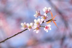 Close up cherry blossom with soft background Stock Photography