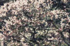Close up Cherry Blossom in Spring. Cherry Blossom in Spring Stock Image