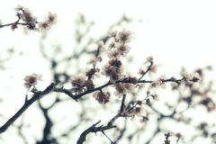 Close up Cherry Blossom in Spring. Cherry Blossom in Spring Royalty Free Stock Photo