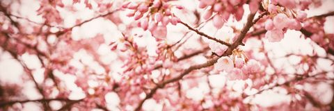 Cherry blossom tree in the park. Close-up of cherry blossom tree in the park Royalty Free Stock Images