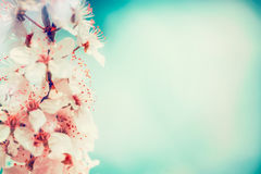 Close up of cherry blossom at turquoise blue sky Royalty Free Stock Photography