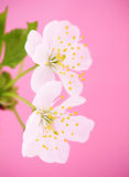Close-up of Cherry blossoms Royalty Free Stock Photos