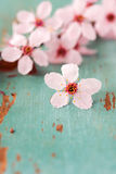 Close up of Cherry Blossoms Royalty Free Stock Photos