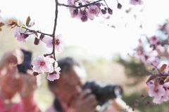 Close up of cherry blossoms on a branch with people taking photographs of them in the background, springtime, Beijing Stock Photo