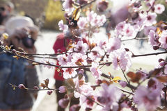Close up of cherry blossoms on a branch with people taking photographs of them in the background, springtime, Beijing Stock Image