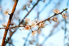 Close up of Cherry blossoms flower on a spring day. White cherry blossoms flower on a spring day in nature. Close up, selective focus. Spring and nature concept Stock Image