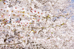Close up cherry blossoms Stock Image