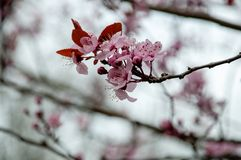 Close-up of cherry blossoms. Soft focus. Close up of blooming sakura. Sign of Spring coming. Macro cherry blossoms flowers and bud royalty free stock images