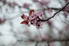 Close-up of cherry blossoms. Soft focus. Close up of blooming sakura. Sign of Spring coming. Macro cherry blossoms flowers and bud stock photo