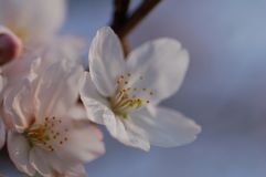 Close Up Of Cherry Blossoms, in Spring royalty free stock photo