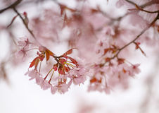 Close-up of Cherry Blossoms in the spring Stock Images