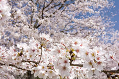 Close up cherry blossoms Stock Photo
