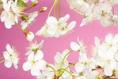 Close-up of cherry flowers Stock Photos