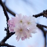 Cherry blossom at the springtime Stock Photography