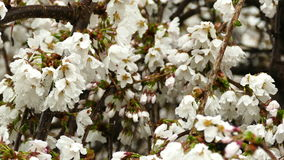 Close-up cherry flowers in spring after rain. 4K stock footage