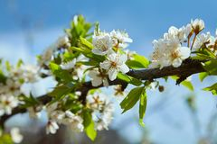 Close-up of a Cherry Plum tree royalty free stock images