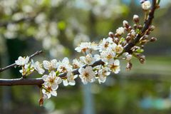 Close-up of a Cherry Plum tree stock image