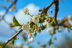 Close-up of a Cherry Plum tree royalty free stock photo