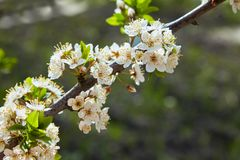 Close-up of a Cherry Plum tree stock photography