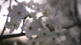 Close-up of a Cherry Plum tree. flowers and sun glare. 4k, slow motion stock video