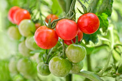 Close up of cherry tomatoes growing Royalty Free Stock Photos