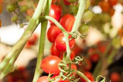 Close up cherry tomatoes hang on trees growing in greenhouse in Israel. Large cherry tomatoes hang on trees growing in greenhouses in the kibbutz of Israel Royalty Free Stock Photography