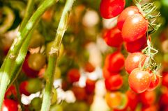 Close up cherry tomatoes hang on trees growing in greenhouse in Israel. Large cherry tomatoes hang on trees growing in greenhouses in the kibbutz of Israel Stock Photo