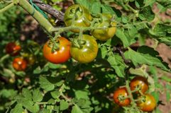 Close-up of cherry tomatoes ripening on plant. Homegrown red and green cherry tomatoes close-up Stock Photo