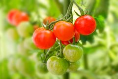Close up of cherry tomatoes in a vegetable garden. Close up of cherry tomatoes growing in a vegetable garden Royalty Free Stock Photography
