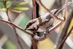 Close up of Chestnut backed Chickadee Poecile rufescens perched on a branch; blurred background, San Francisco bay area,. California stock photography