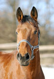 Close-up of a chestnut bay horse in paddock Stock Photos