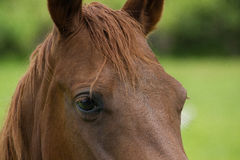 Close Up of a Chestnut Brown Horses Eye. A close-up shot of a beautiful chestnut brown horses head and eye against a natural green background Royalty Free Stock Photography