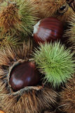 Close up of chestnut fruit. On the table Stock Photos