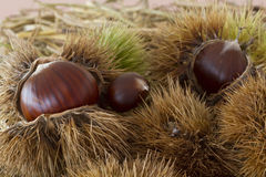 Close up of chestnut fruit. Table close up of chestnut fruit Royalty Free Stock Photos