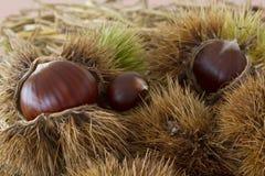 Close up of chestnut fruit Royalty Free Stock Photos