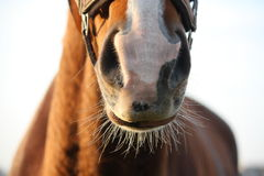 Close up of chestnut horse nose Stock Images