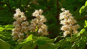 Close-up of a chestnut inflorescence. a chestnut tree leaves, on a sunny day. Chestnut. Blossoming chestnut. On the waving branches are the inflorescence of stock video footage