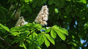 Close-up of a chestnut inflorescence. a chestnut tree leaves, on a sunny day. Shot in 10bit 422. Chestnut. Blossoming chestnut. On the waving branches are the stock footage