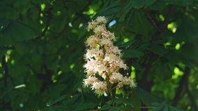 Close-up of a chestnut inflorescence. a chestnut tree leaves, on a sunny day. Shot in 10bit 422. Chestnut. Blossoming chestnut. On the waving branches are the stock video footage