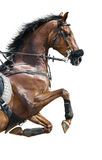 Close-up of chestnut jumping horse in a hackamore Stock Photos