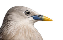Close-up on a Chestnut-tailed Starling, side view Royalty Free Stock Photos