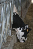 Close up of chianina cow eating hay Stock Image
