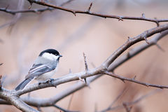 Close up of a chickadee Royalty Free Stock Image