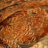 A close-up of chicken feathers Royalty Free Stock Images