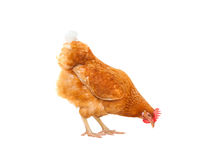 Close up chicken hen eating something isolated white background Stock Images